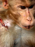 Deep Wounds. A deeply wounded monkey after a fight in between two groups Stock Image