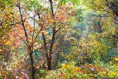 The deepandserene red leaves _ autumnal scenery Stock Photography