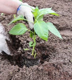 The deepening of the root system. Spring works on planting plants in the ground Royalty Free Stock Photography