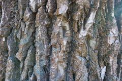 Deeply fissured bark of black poplar. Tree Royalty Free Stock Photography