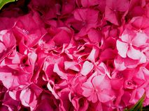 Deeply pink wonderful flower hydrangea stock photography