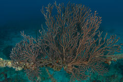 Deepwater Sea Fan Stock Images