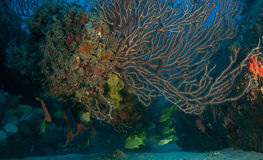 Deepwater Sea Fan Royalty Free Stock Images