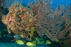 Deepwater Sea Fan Royalty Free Stock Photo