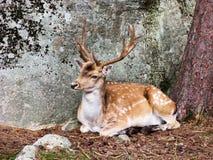 Deer 005. A male deer lying down resting beside a tree Stock Images