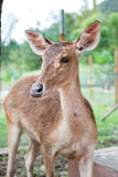 Deer 02 Stock Photography
