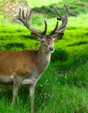 Deer. A portrait of a deer Royalty Free Stock Photography