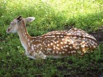 Deer. A nice looking deer in the field stock images