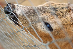 Deer. Portrait with captive deer behind fence Royalty Free Stock Image