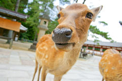 A deer Royalty Free Stock Images