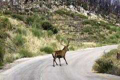 Deer. Seeking food in a burned forest Stock Image