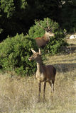 Deer. S seeking food in a forest Stock Photos