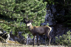 Deer. Seeking food in a forest Royalty Free Stock Images