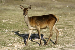 Deer. Seeking food in a burned forest Royalty Free Stock Photography