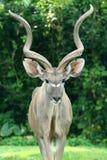 Deer. A fully grown male african deer stock image