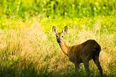 Deer. Near old big forest in sunny day Royalty Free Stock Images