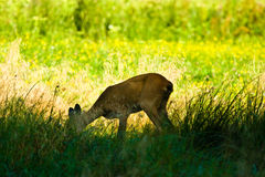 Deer. Near old big forest in sunny day royalty free stock photo