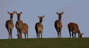 Deer. Female deer herd in Scotland stock photo