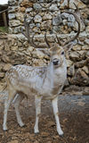 Deer. Photo is shot in a natural park in Zakynthos Island - a summer holiday destination in Greece Stock Photo
