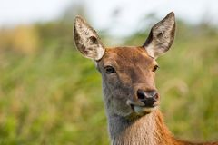 Deer. Portrait of a deer looking at the photographer Stock Photos