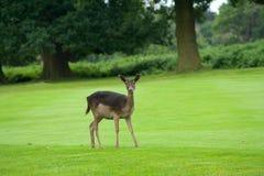 Deer. Alert deer in grassy clearing royalty free stock photo