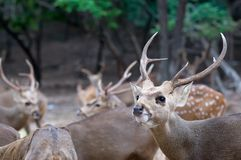 Deer. Stock Image