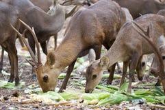 Deer. Group of deers are eating food Royalty Free Stock Photo