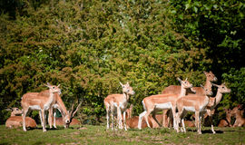 Free Deer Royalty Free Stock Photos - 15367298