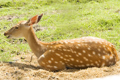 Free Deer Royalty Free Stock Photos - 15388428