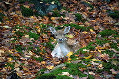 Deer. Picture of a deer in the forest in autumn Royalty Free Stock Image