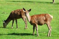 Deer. Red deer in a field Royalty Free Stock Image