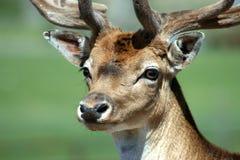 Deer. A deer in a Safari Park in the UK Stock Images