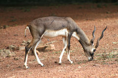 Deer. In a zoological park Stock Photography
