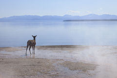 Deer. A deer is standing at the shore of Yellowstone Lake. There is steam visible from the nearby hot spring. Yellowstone National Park, Wyoming, USA stock images