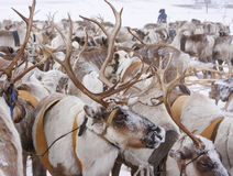 Deer. In the north tundra stock photos