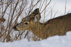 Deer 1c Stock Photo