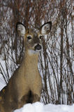 Deer 1d Stock Photo