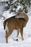 Deer 1f Stock Photos