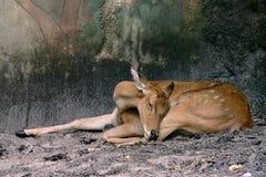 Deer. Young deer resting Royalty Free Stock Image