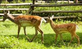 Deer Royalty Free Stock Image