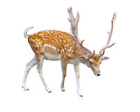 Free Deer Royalty Free Stock Photography - 21056087