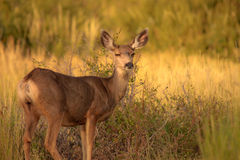 Deer. Early morning in the Mesa Verde park Stock Photography