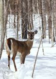 Deer. In forest during winter Stock Photo