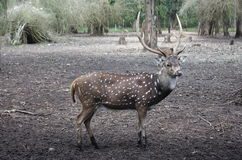 Deer. With white dots in national garden near Madikeri Karnataka India Stock Photography