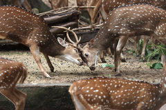 Deer. Two axis deer fighting each other at Malaysia National Zoo royalty free stock photography