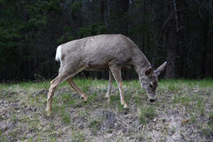 Deer. Feeding late afternoon in forest during spring season Stock Images