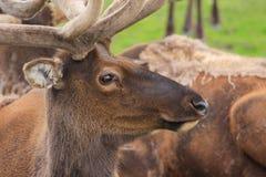 Deer. S - wild animals of Alaska Stock Images