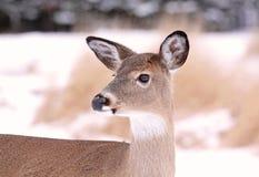 Deer. Female deer in nature during winter Royalty Free Stock Image
