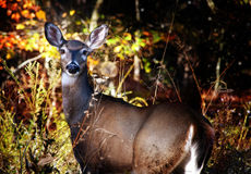 Deer. A female white tailed deer backlit with the sun setting on autumn foliage Royalty Free Stock Photography