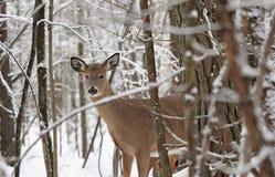 Deer. Female deer in nature during winter Stock Images